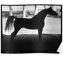 Arabian Horse Silhouette Black and White Print Poster