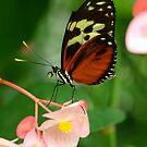 Beautiful Butterflies by tigerwings