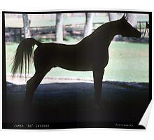 Arabian Horse Silhouette  Poster