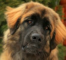 Leonberger, Redman by AmyKippernes