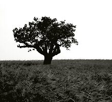 A fig tree in a field of barley. by germt