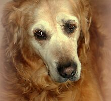 Shelby my Beutiful Golden Retriever..She may be old, but the love of my life. by vette