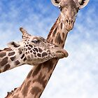 """Necking"" - giraffes showing affection by John Hartung"