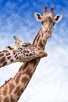 """Necking"" - giraffes showing affection by ArtThatSmiles"