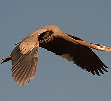 1212101 Great Blue Heron by Marvin Collins