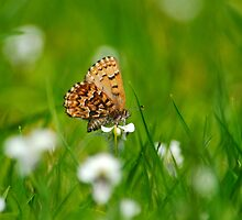 Eastern Pine Elfin Butterfly by Christina Rollo