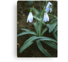 Crimean Snowdrop Closeup Canvas Print