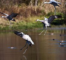 Migratory Sandhill Cranes Landing in a Marsh Pond by David Friederich