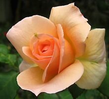 Beautiful peach coloured rose by Daphne Gonzalvez