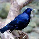 Satin Bowerbird by margotk