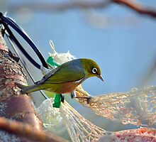 Silvereye In Andrea's Backyard. Gore, South Island, New Zealand. by Ralph de Zilva
