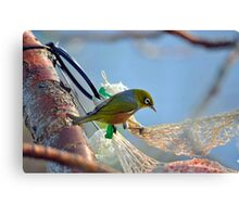 Silvereye In Andrea's Backyard. Gore, South Island, New Zealand. Canvas Print