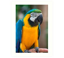 Blue and Gold Macaw, Brazil, South America Art Print