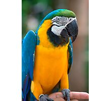 Blue and Gold Macaw, Brazil, South America Photographic Print