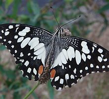 Chequered Swallowtail (Papilio demoleus sthenelus) - Coromandel Valley, South Australia by Dan & Emma Monceaux