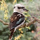 Kookaburra#2 by johnrf