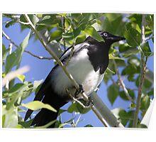Black billed Magpie Poster
