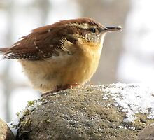 Carolina Wren on coldest day since 1917 by Jean Gregory  Evans