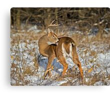 Licking his wounds Canvas Print