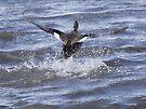 Gadwell Ducks Take off by Dennis Cheeseman