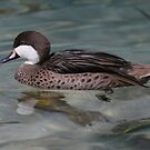 White Cheeked Pintail Duck by Dennis Cheeseman