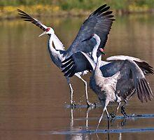 Dancing Cranes by David Friederich