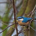 Nuthatch by Elaine123