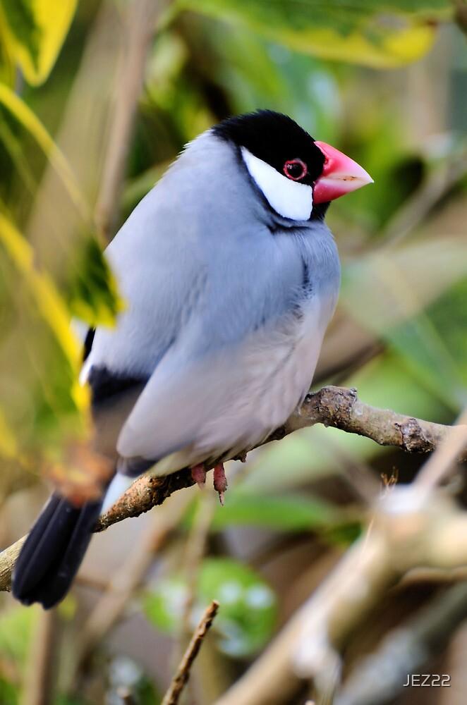 Java Sparrow by JEZ22