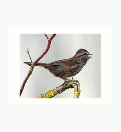 Song Sparrow Singing out its Song Art Print