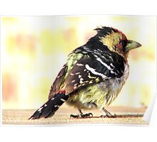 Barbet beauty Poster