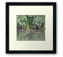 Family of Ducks Framed Print
