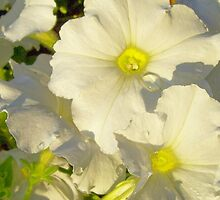 White petunias by heyginny