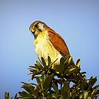 Kestral at The Skillion, Terrigal NSW by Doug Cliff
