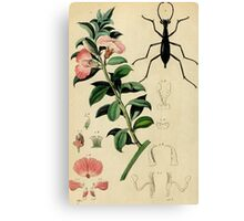 Pink flower with elegant black Damaster beetle; French botanical illustration from 1839 Canvas Print