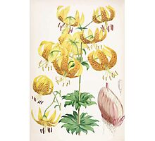 A Monograph of the Genus Lilium Henry John Elwes Illustrations W H Fitch 1880 0151 Photographic Print