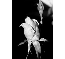 Rose #2 Photographic Print