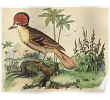 Stylishly feathered bird from an 1837 natural history print: Moucherolle couronné, or Pacific Royal Flycatcher Poster