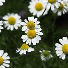 Echte Kamille {Matricaria chamomilla} by SmoothBreeze7