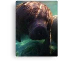 Florida Manatee Canvas Print
