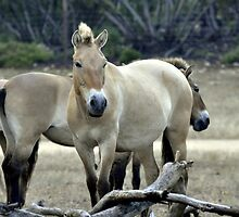Wild Mongolian Horses - in South Australia - Monarto by chijude