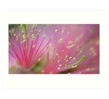 Pink Fluff - bottlebrush flower Art Print