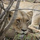 Lioness rests after feasting by MarkySA