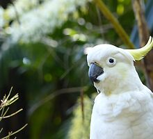 Sulphur Crested Cockatoo  by ConnieKerr