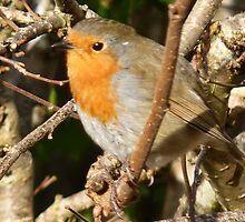 Fluffy Robin by lynn carter