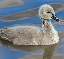 Black Swan Cygnet by bidkev1