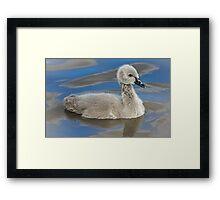 Black Swan Cygnet Framed Print