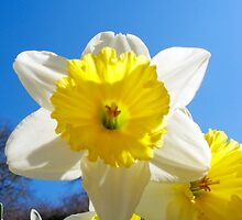 Spring Daffodils by Chris L Smith