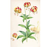 A Monograph of the Genus Lilium Henry John Elwes Illustrations W H Fitch 1880 0135 Photographic Print