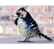 Crested Barbet / Kuifkophoutkapper Photographic Print