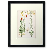 A Monograph of the Genus Lilium Henry John Elwes Illustrations W H Fitch 1880 0209 Framed Print